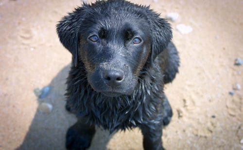 Black Lab puppy on the beach
